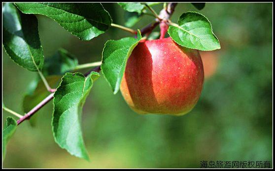 大连瓦房店苹果节